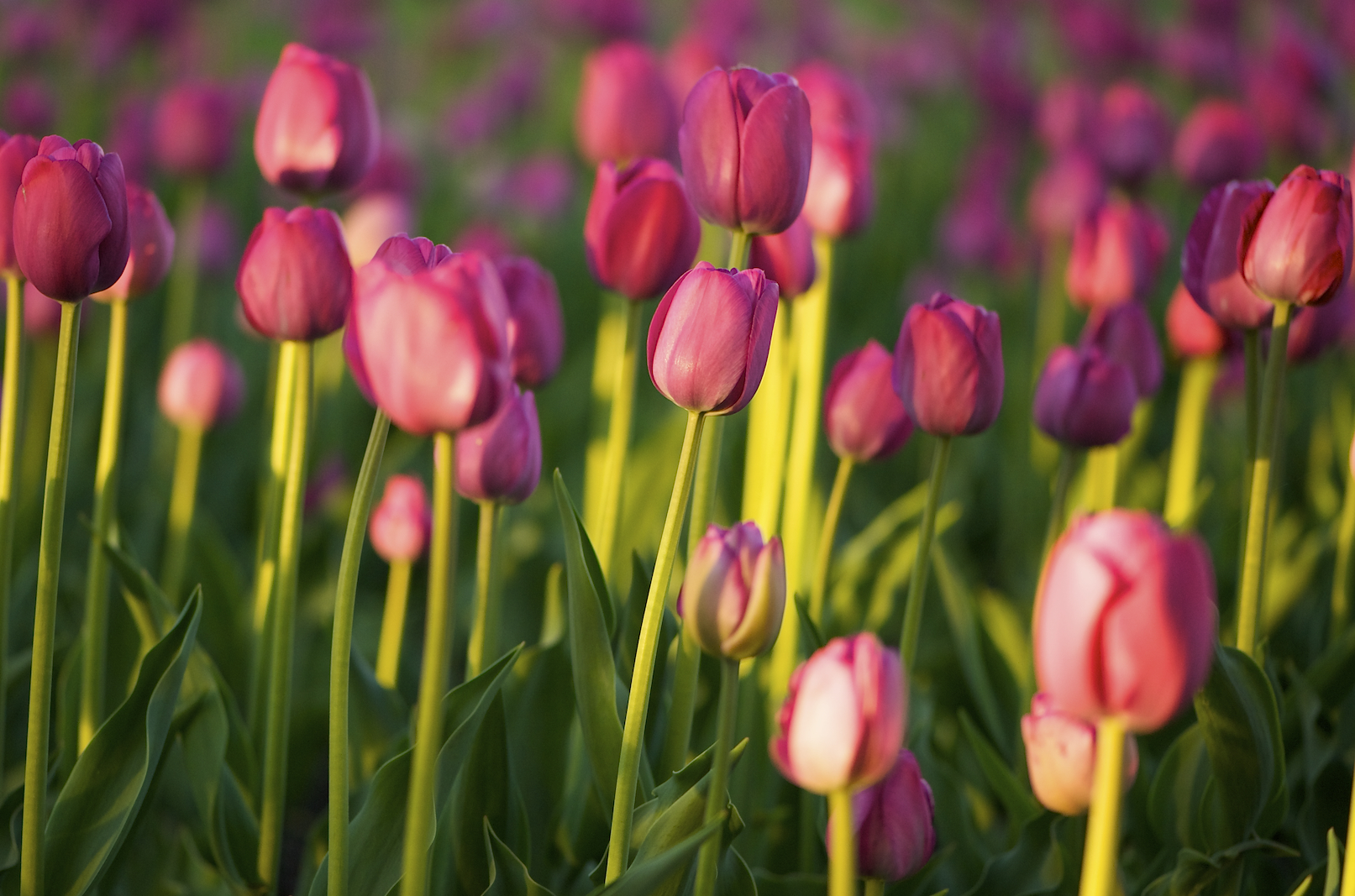 tulips in the spring - photo #22